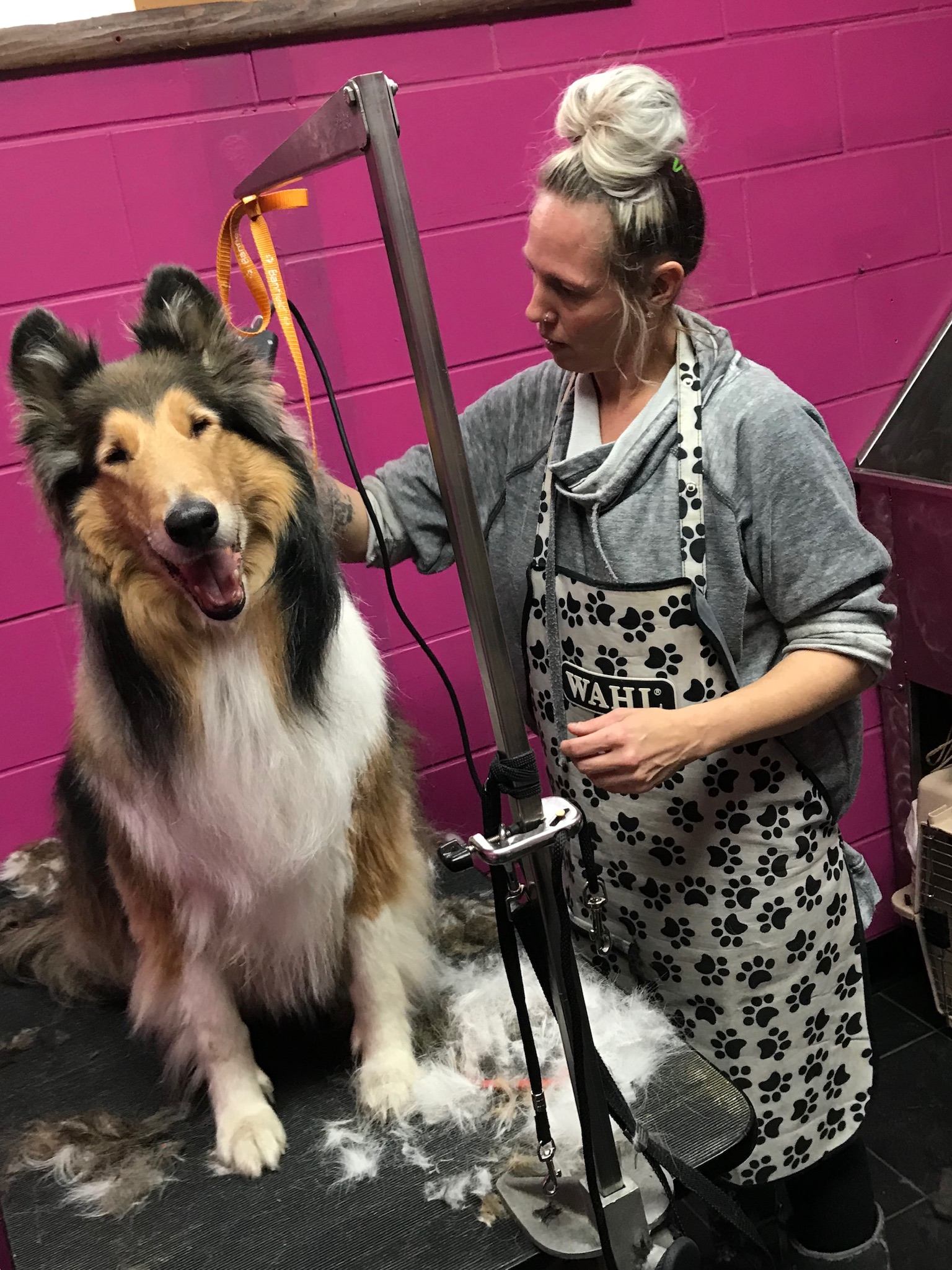Lindsay grooming a collie